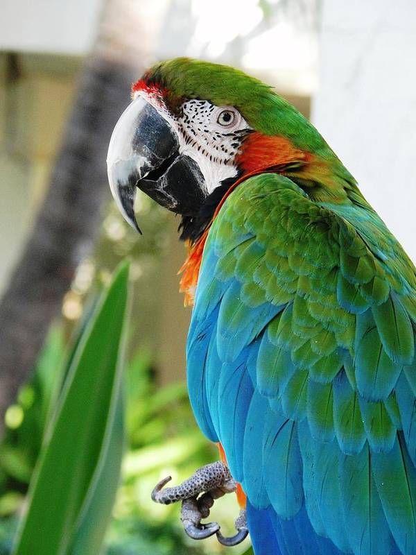 Macaw Art Print featuring the photograph Hello There by Carol Reynolds