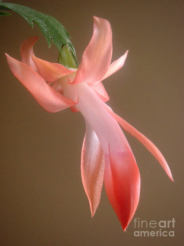 Nature Art Print featuring the photograph Holiday Cactus - In Day Light by Lucyna A M Green
