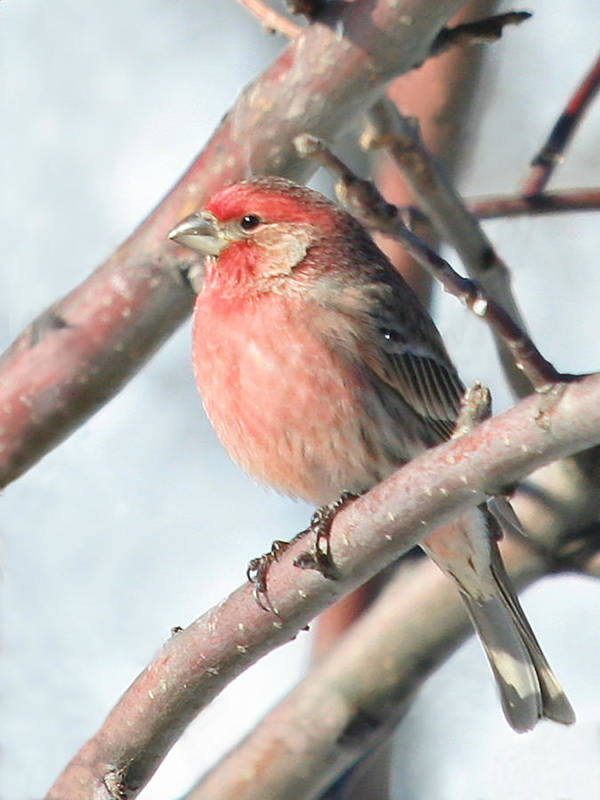 Bird Art Print featuring the photograph House Finch In An Apple Tree by Laurie With