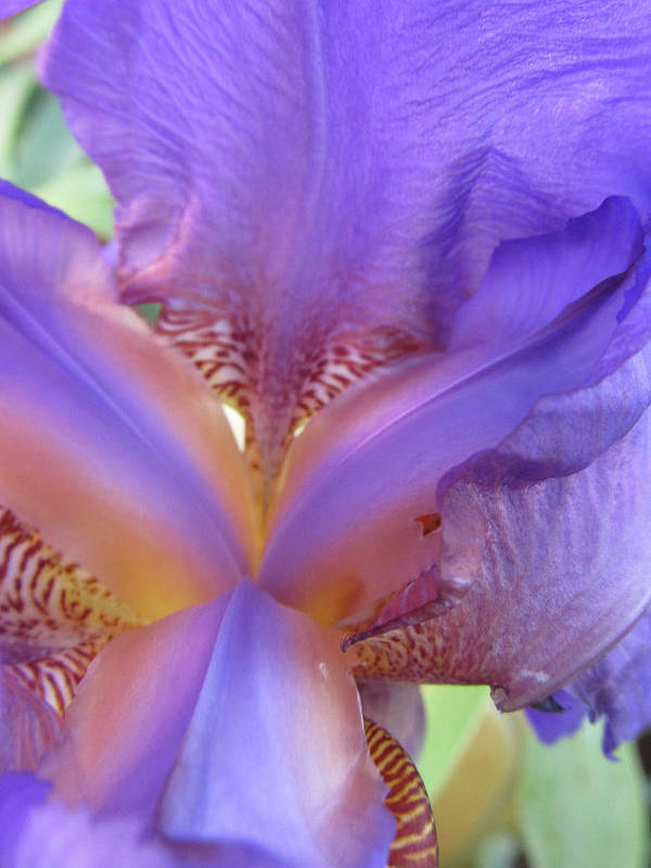 Flowers Art Print featuring the photograph Inner Glow by Michele Caporaso