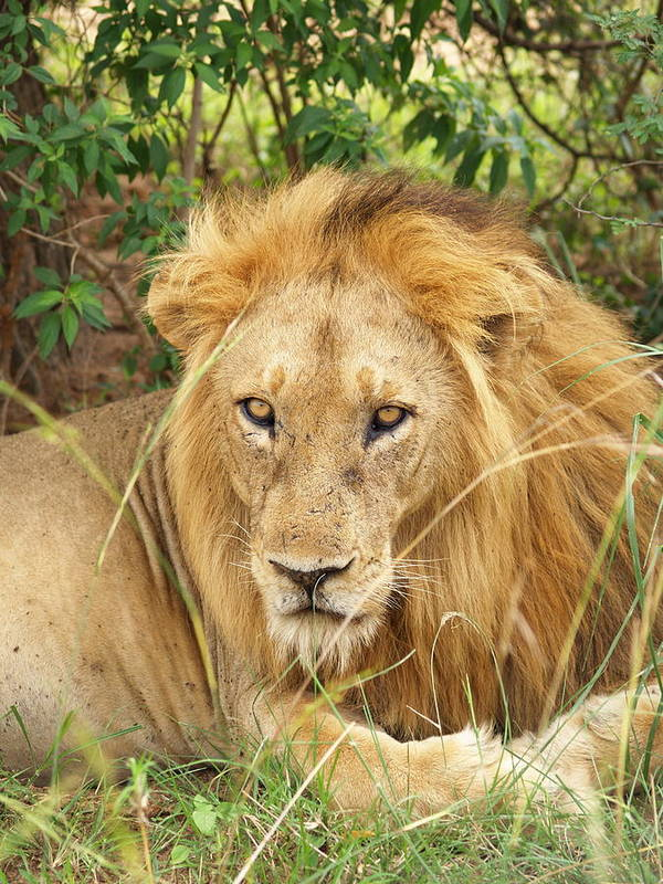 Africa Art Print featuring the photograph King Of The Jungle by William Linares MistuhWill