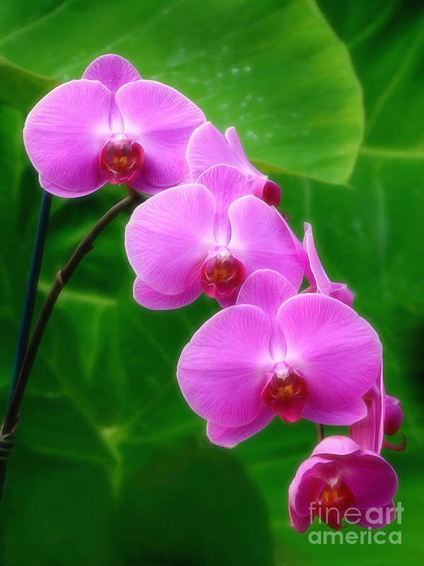 Orchid Art Print featuring the photograph Lilac Orchid Beauties by Sue Melvin