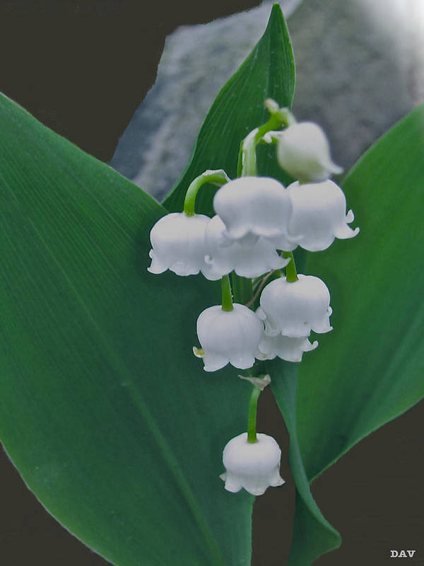 Lily Bells Art Print featuring the photograph Lily Bells by Debra   Vatalaro