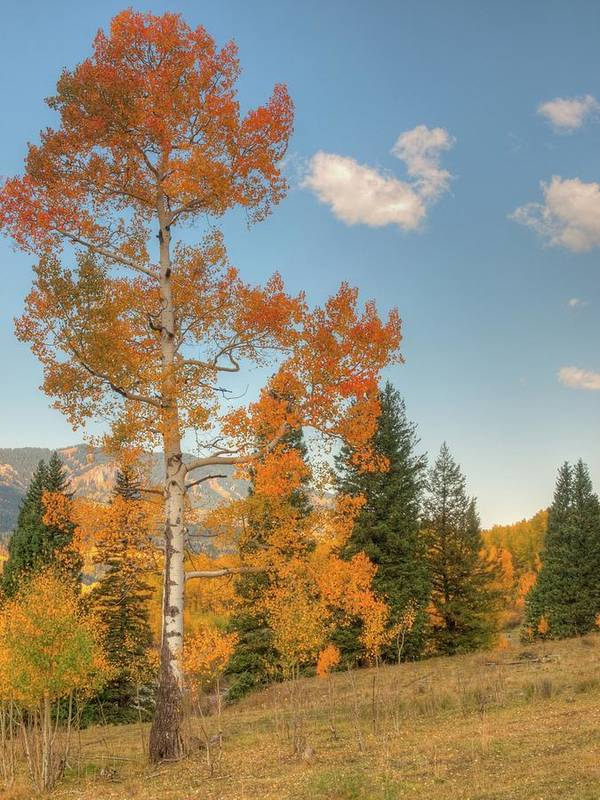 Aspen Art Print featuring the photograph Lone Aspen by Linda Weyers