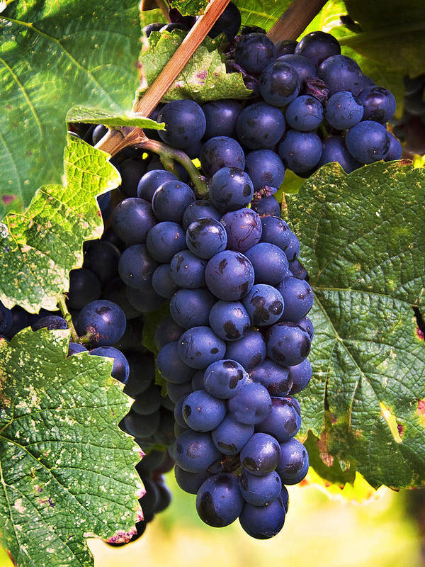 Grapes Art Print featuring the photograph Luscious Grape Cluster by Marion McCristall