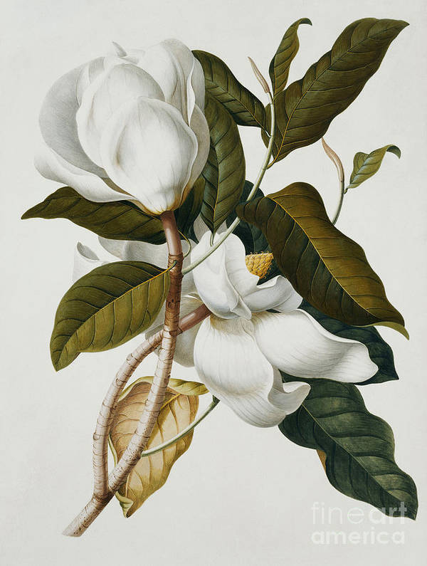 Magnolia Art Print featuring the painting Magnolia by Georg Dionysius Ehret