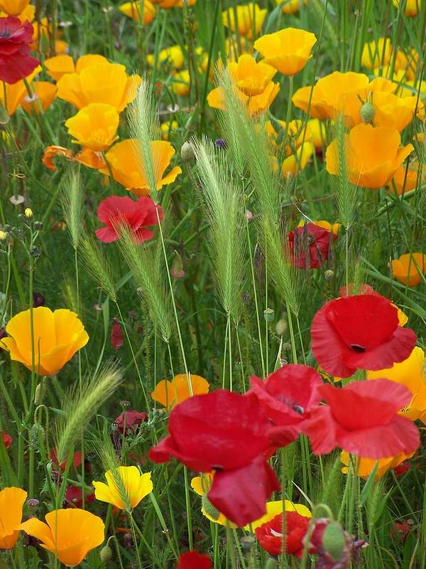 Poppies Art Print featuring the photograph Mixed Poppies by Gene Ritchhart