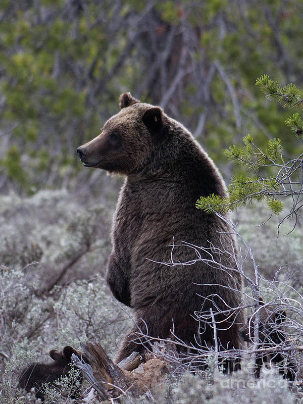 Bear Art Print featuring the photograph Momma Grizzly And Cubs by Rodney Cammauf