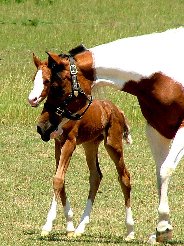 Horse Art Print featuring the photograph Mother And Newborn by Donna Thomas
