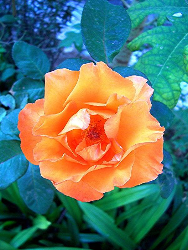 Rose Art Print featuring the photograph Orange Rose On Green by Caroline Urbania Naeem