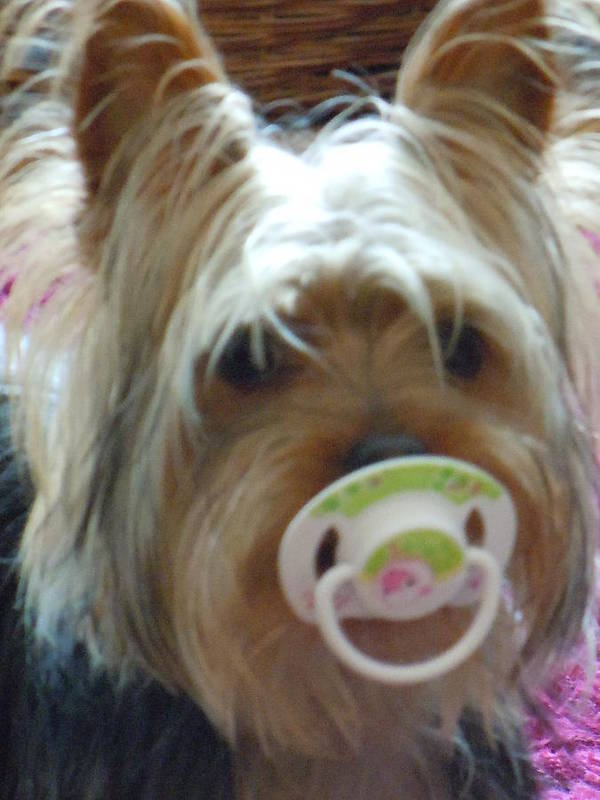 Miniature Yorkshire Terrier Art Print featuring the photograph Paddy My Boy by Janet Folan