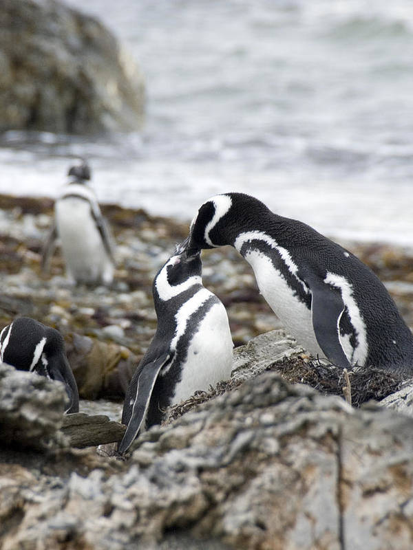 Penguins Art Print featuring the photograph Penguin Love by Charles Ridgway