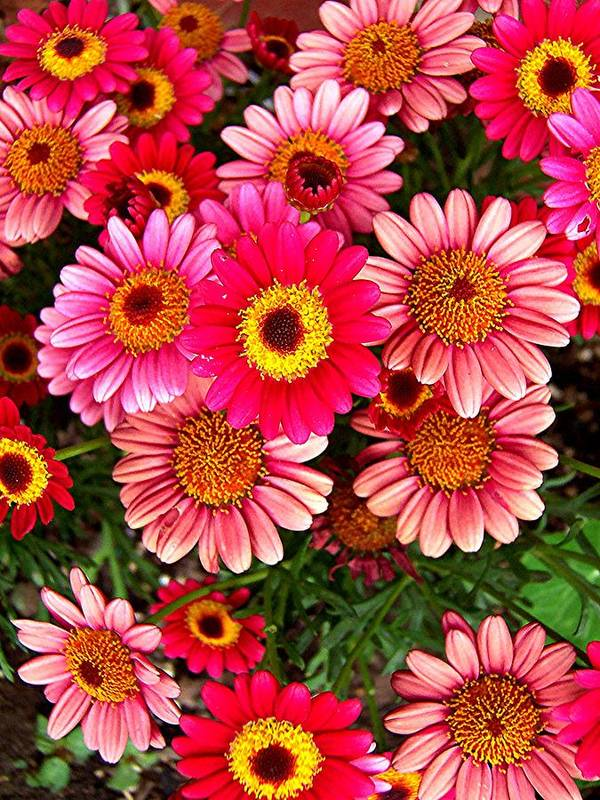 Mini Mums Art Print featuring the photograph Pink Patterned Mums by Caroline Urbania Naeem