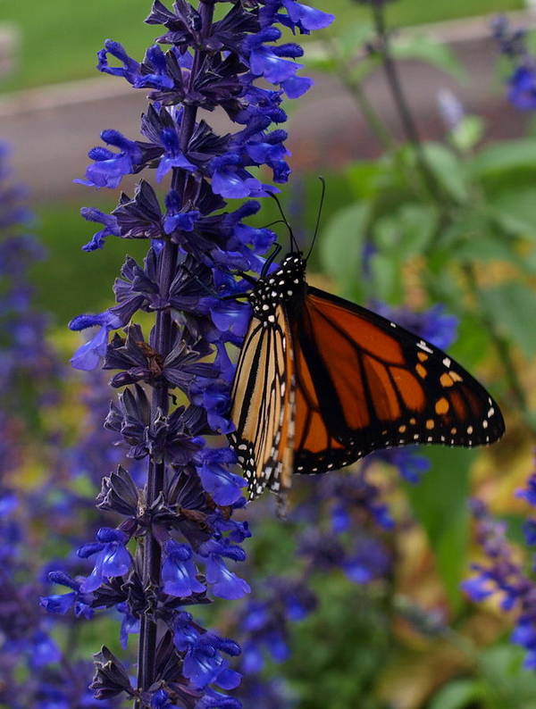 Butterfly Art Print featuring the photograph Purple Monarch by Peter Gray