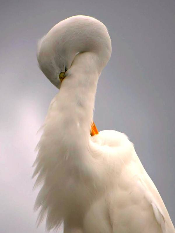 Great White Egret Art Print featuring the photograph Radiant Beauty by Jennifer A Garcia