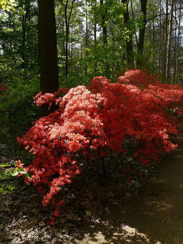 Nature Art Print featuring the photograph Rhododendron by Attila Balazs