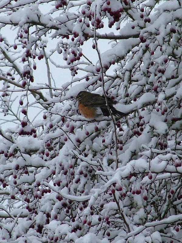 Robin Bird Snow Nature Wildlife Art Print featuring the photograph Robin In Snow by Nick Gustafson