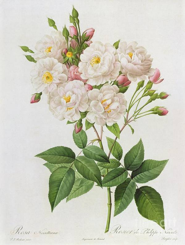 Rosa Art Print featuring the painting Rosa Noisettiana by Pierre Joseph Redoute