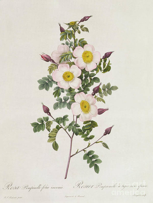 Rosa Art Print featuring the drawing Rosa Pimpinelli Folia Inermis by Pierre Joseph Redoute