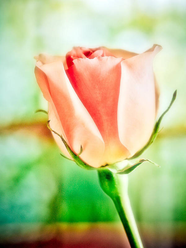 Rose Art Print featuring the photograph Rose In Window by Marilyn Hunt