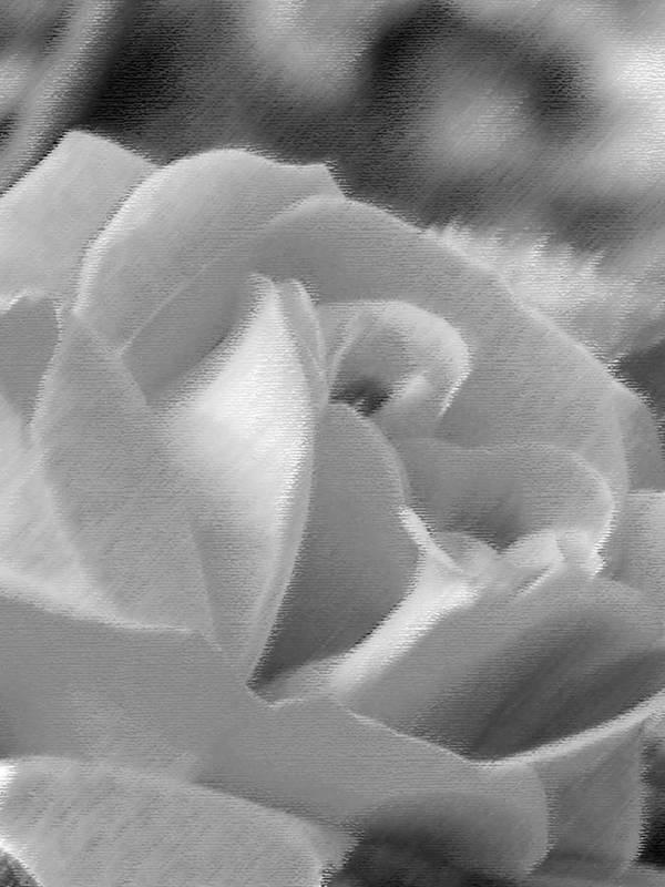 Flower Art Print featuring the photograph Rose by John Bradburn