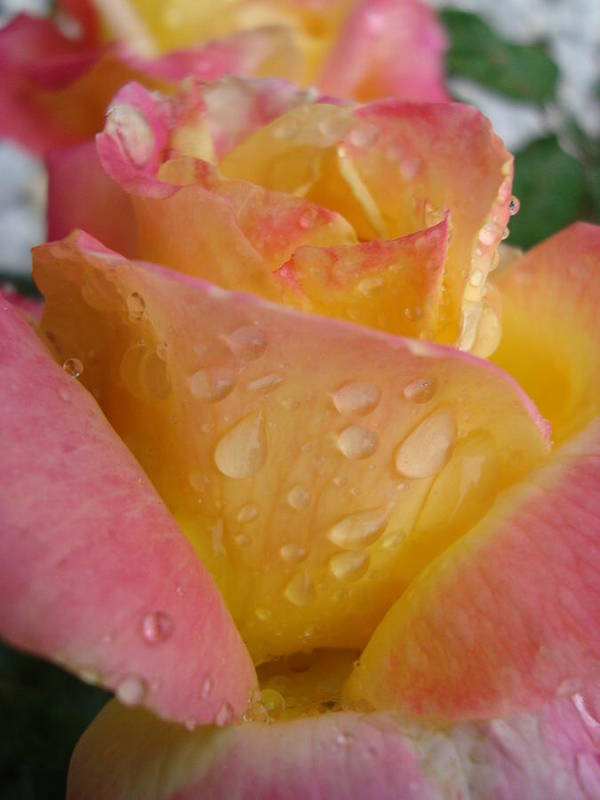 Rose Art Print featuring the photograph Rose Peace by Tong Steinle