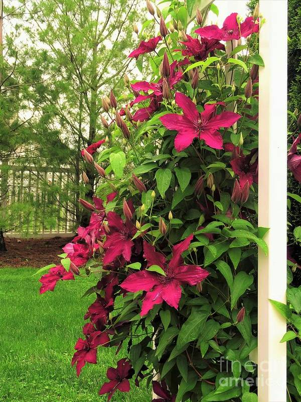 Rouge Cardinal Art Print featuring the photograph Rouge Cardinal Clematis 2 by Scenic Sights By Tara