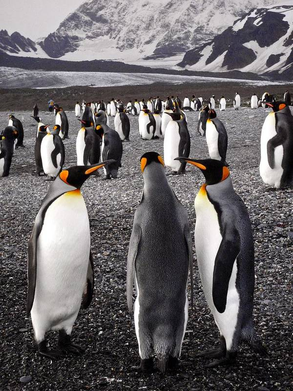 King Penguins Art Print featuring the photograph Sant Andrews Bay South Georgia 11 by Per Lidvall