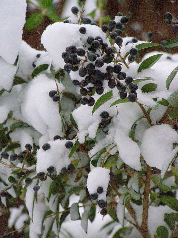Snow Art Print featuring the photograph Snow Berries by Christine Sullivan Cuozzo