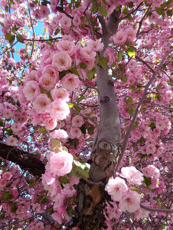 Blossoms Art Print featuring the photograph Spring Blossoms by Kristina Lammers