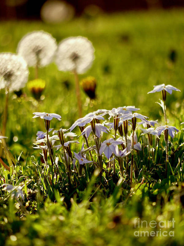 Star Flower Art Print featuring the photograph Stars And Dandelions by Rachel Morrison