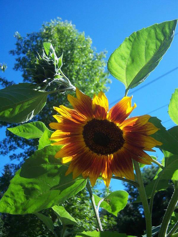 Sun Art Print featuring the photograph Sunflower 120 by Ken Day
