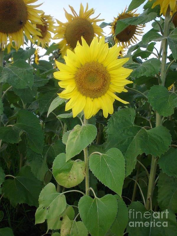 Sunflower's Art Print featuring the photograph Sunflower Amungst Sunflower's by Chandelle Hazen