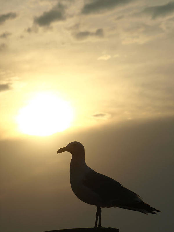 Seagull Art Print featuring the photograph Sunset Gull by Kim