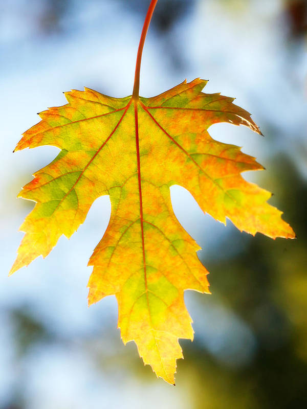 Maple Art Print featuring the photograph The Maple Leaf by Marilyn Hunt