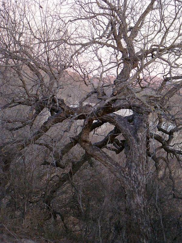 Pecan Tree Art Print featuring the photograph The Mother Tree Two by Ana Villaronga
