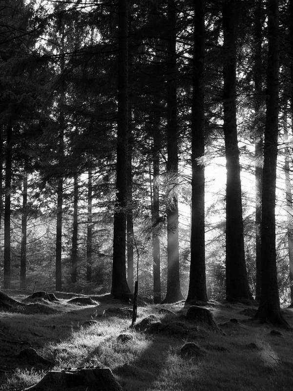 Trees Forest Woods Mono Sapling Evening Light Dusk Rays Light Art Print featuring the photograph The Sapling by Lloyd Burchell