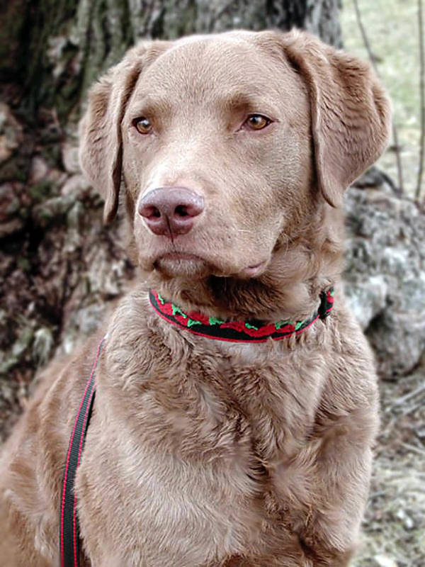 Chesapeake Bay Retriever Art Print featuring the photograph Trevor by Laurie With