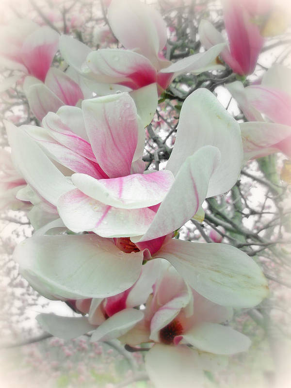 Magnolia Art Print featuring the photograph Tulip Tree Blossoms - Magnolia Liliiflora by Mother Nature