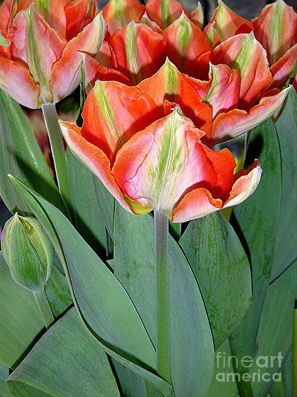 Nature Art Print featuring the photograph Tulips - A Bunch Of Beauties by Lucyna A M Green