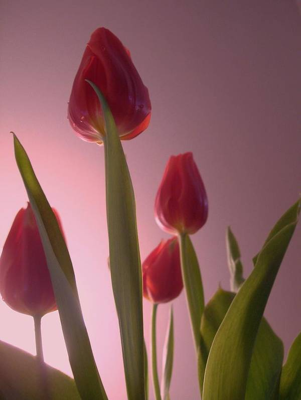 Beautiful Tulips My Giff To You. Art Print featuring the photograph Tulips by Nereida Slesarchik Cedeno Wilcoxon