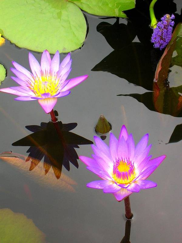 Water Lilies Art Print featuring the photograph Water Lilies by Caroline Urbania Naeem