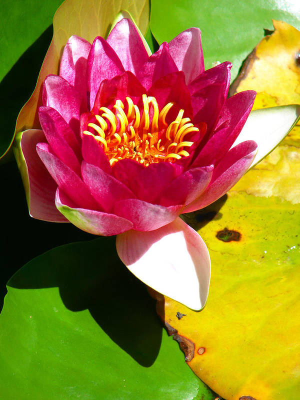 Water Lily Art Print featuring the photograph Water Lily Fc 2 by Diana Douglass