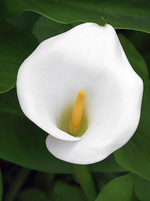 Flower Art Print featuring the photograph White Calla Lily by Christine Till
