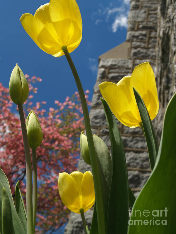 Flower Art Print featuring the photograph Yellow Tulips By Stone Church by Anna Lisa Yoder