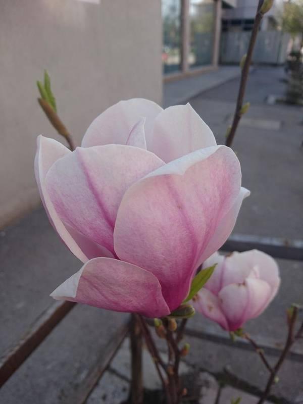 Art Print featuring the photograph Magnolia by Anzhelina Georgieva