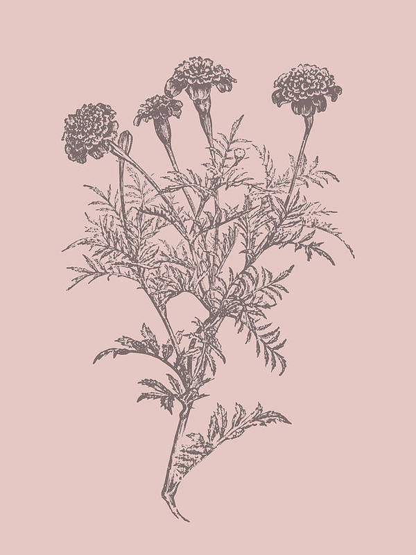 Flower Art Print featuring the mixed media Tagetes Patula Blush Pink Flower by Naxart Studio