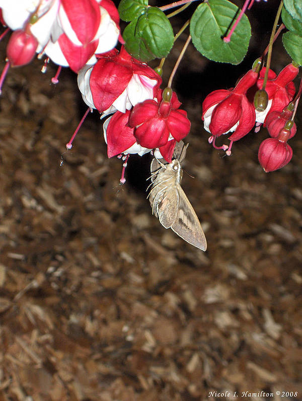 Moth Art Print featuring the photograph Night Visitor by Nicole I Hamilton