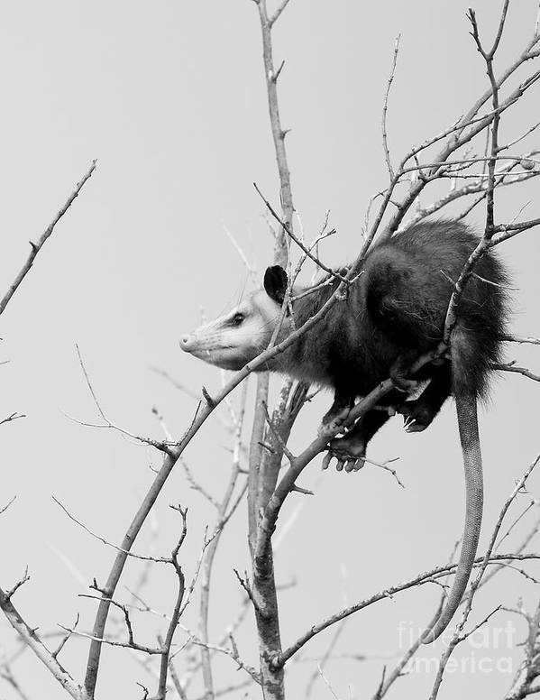 Possum Art Print featuring the photograph Treed Opossum by Robert Frederick