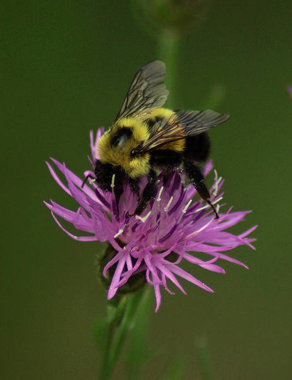 Bee Art Print featuring the photograph Another Bee? by Jeff Klahn